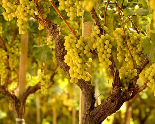 Consulenze tecniche vitivinicole Agristudio Stradella